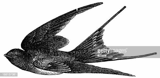 illustrations, cliparts, dessins animés et icônes de hirondelle rustique (hirundo rustica - hirondelle