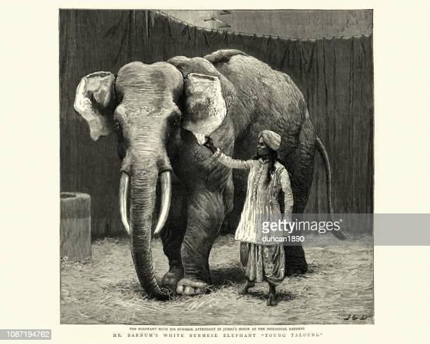 ilustraciones, imágenes clip art, dibujos animados e iconos de stock de elefante birmano young-taloung de barnum, 1884 - p.t. barnum