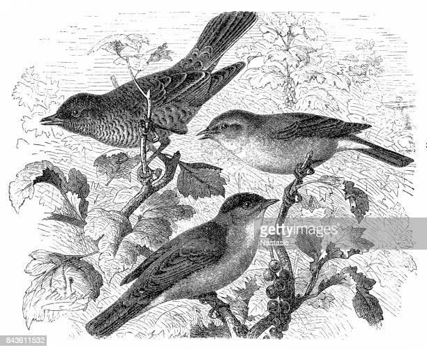 Barred warbler, Sylvia nisoria, Eurasian blackcap, Sylvia atricapilla, western Orphean warbler, Sylvia hortensis