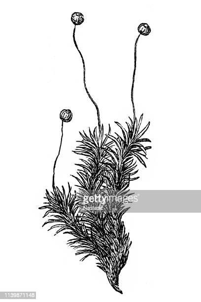 Bartramia pomiformis, the common apple-moss