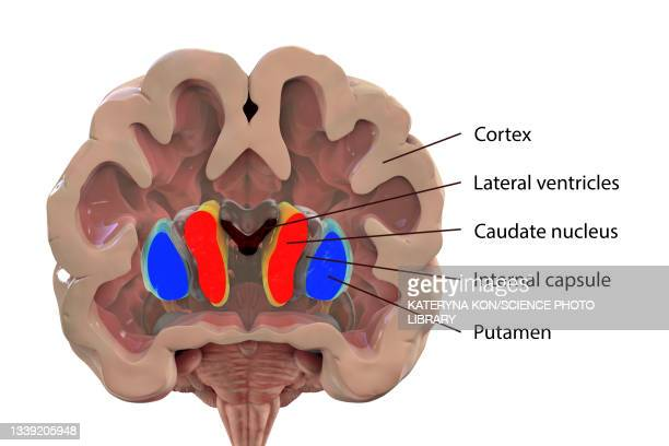 basal ganglia, illustration - neuropathy stock illustrations