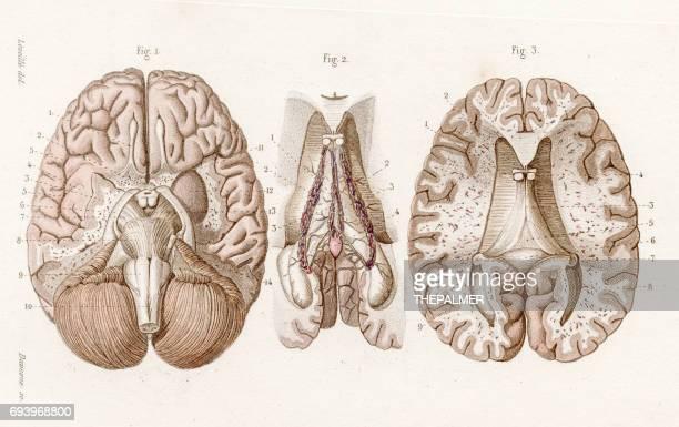 illustrations, cliparts, dessins animés et icônes de base de l'anatomie du cerveau gravure de 1886 - cerveau humain