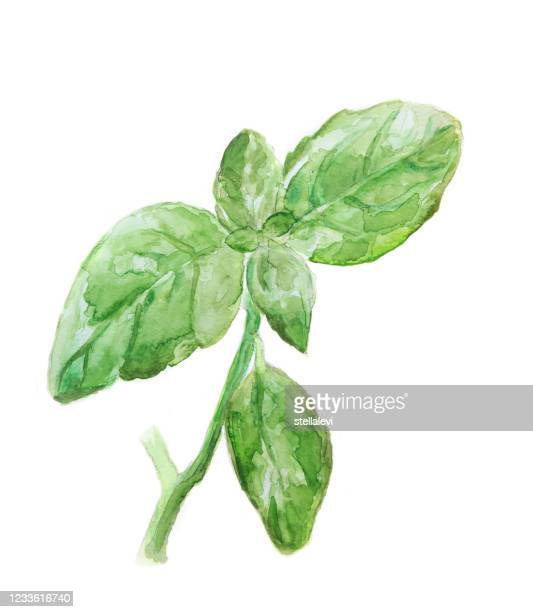 basil - watercolor painting isolated on white - stellalevi stock illustrations