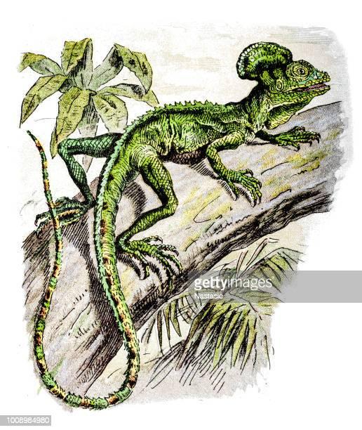 ilustrações, clipart, desenhos animados e ícones de basiliscus é um gênero de lagartos grandes corytophanid, comumente conhecido como basiliscos - réptil
