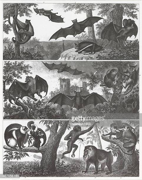 bats and primates engraving - colugo stock illustrations