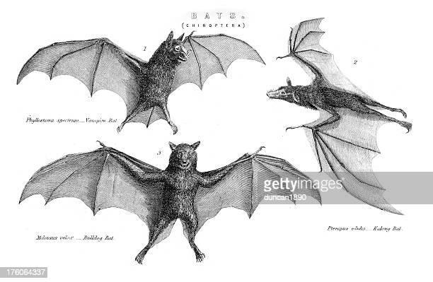 Murciélagos-Chiroptera