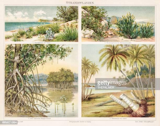 beach plants chromolithograph 1895 - coconut palm tree stock illustrations, clip art, cartoons, & icons