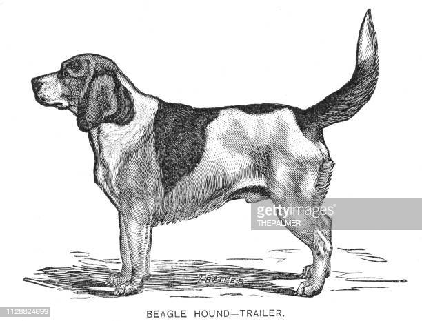 beagle hound dog engraving 1891 - hound stock illustrations