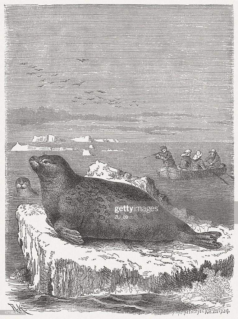 Bearded seal (Erignathus barbatus), wood engraving, published in 1873 : stock illustration