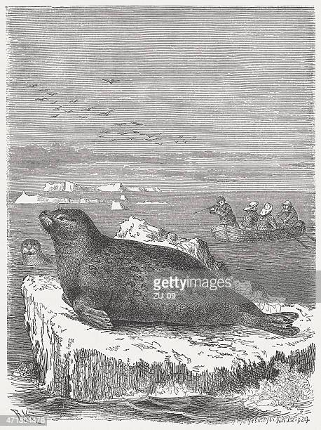 Bearded seal (Erignathus barbatus), wood engraving, published in 1873