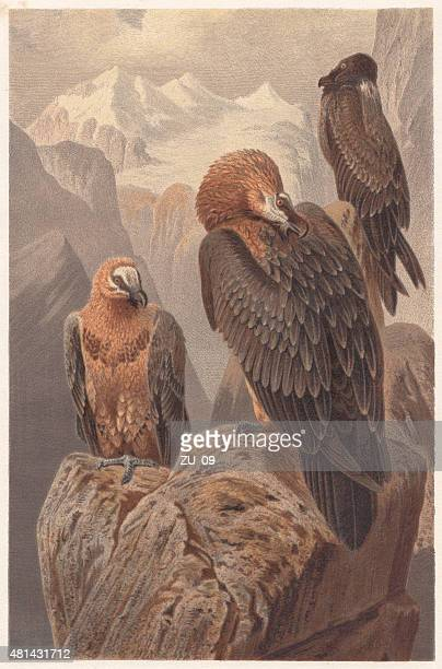 bearded vultures (gypaetus barbatus), lithograph, published in 1882 - scavenging stock illustrations
