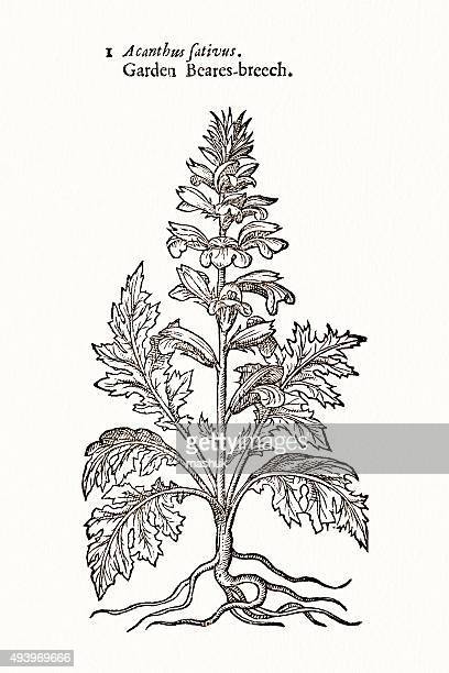 Bear's Breech Acanthus plant 17 century botanical