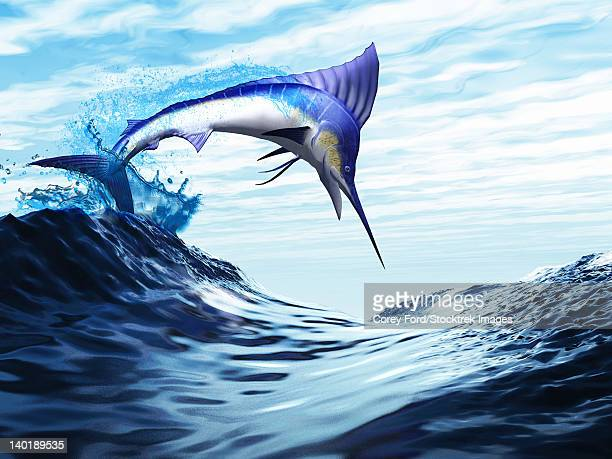 a beautiful blue marlin bursts through a wave in a spectacular jump. - one animal stock illustrations