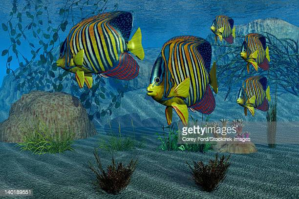 beautiful royal angelfish shimmer with their gorgeous colors near a coral reef. - angelfish stock illustrations, clip art, cartoons, & icons