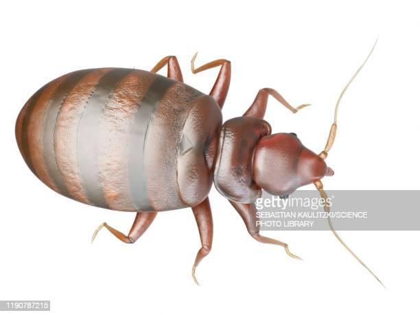 bedbug, illustration - wildlife stock illustrations