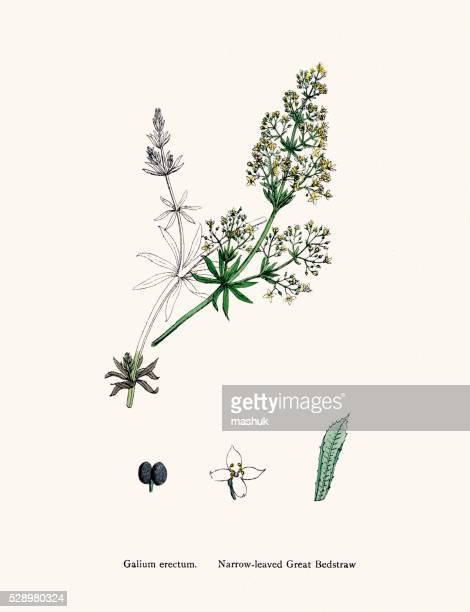 bedtraw medicinal plant against skin ailments, wounds, burns - perennial stock illustrations, clip art, cartoons, & icons