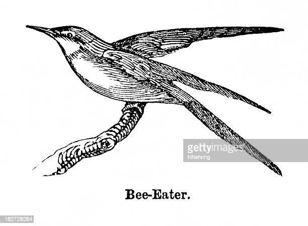 bee eater grabado