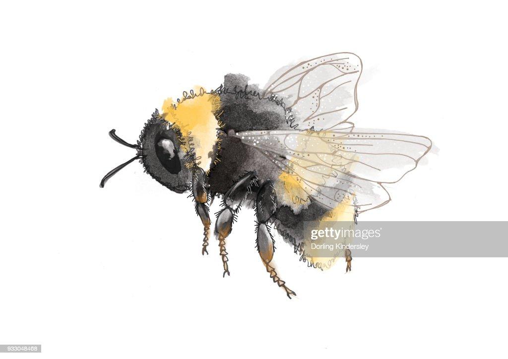 Bee (Bombus ) : stock illustration