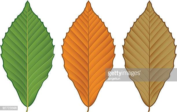 beech leaf - rotting stock illustrations, clip art, cartoons, & icons