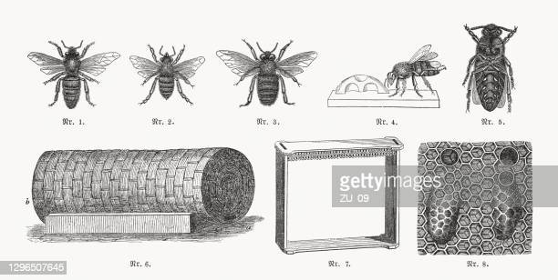 beekeeping, wood engravings, published in 1893 - queen bee stock illustrations