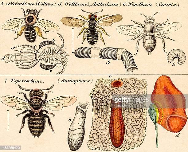 bees, 19 century science illustration - zoology stock illustrations