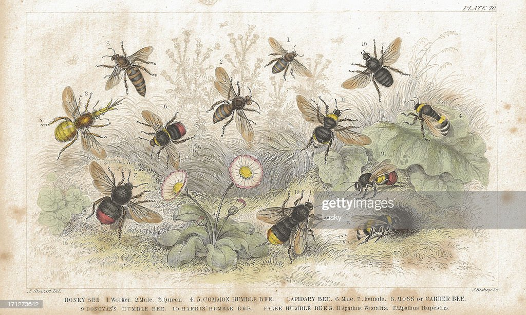 Bees old litho print from 1852 : stock illustration