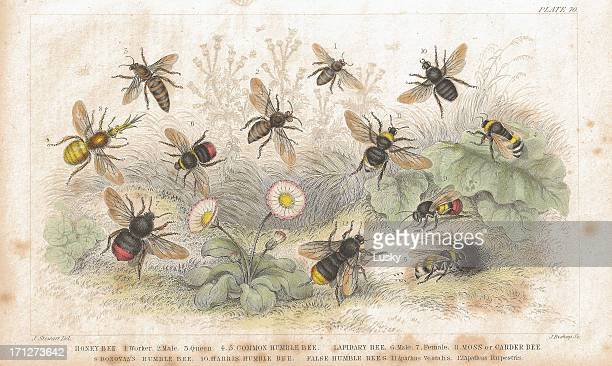 bees old litho print from 1852 - bumblebee stock illustrations, clip art, cartoons, & icons