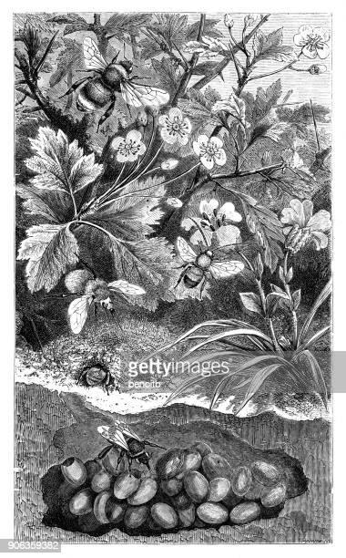 ilustrações, clipart, desenhos animados e ícones de abelhas com ninho abaixo hawthorn - pilritreiro
