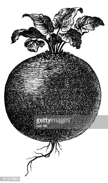 beet root - rutabaga stock illustrations, clip art, cartoons, & icons