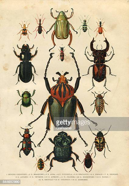 beetle insect illustration 1881 - insect stock illustrations