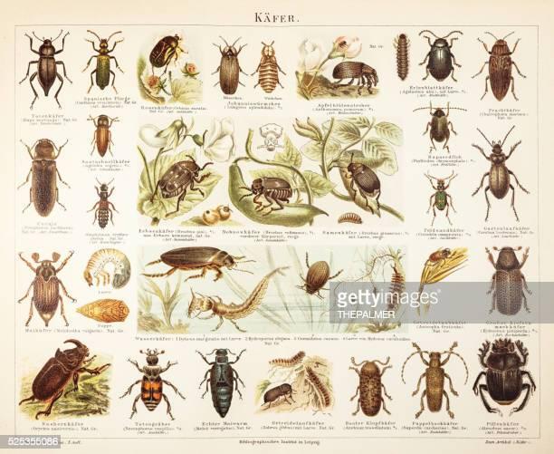 Beetles engraving 1895