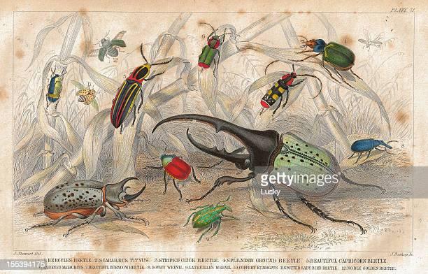 ilustrações de stock, clip art, desenhos animados e ícones de escaravelhos velha impressão de 1852 litho - litografia
