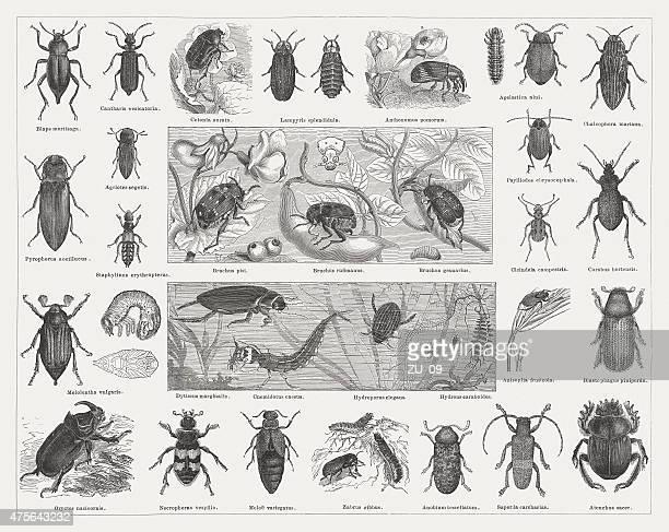 Beetles, wood engravings, published in 1876