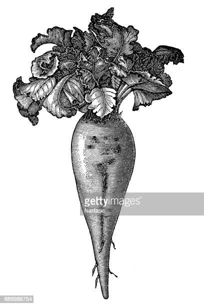 beetroot - sugar food stock illustrations, clip art, cartoons, & icons