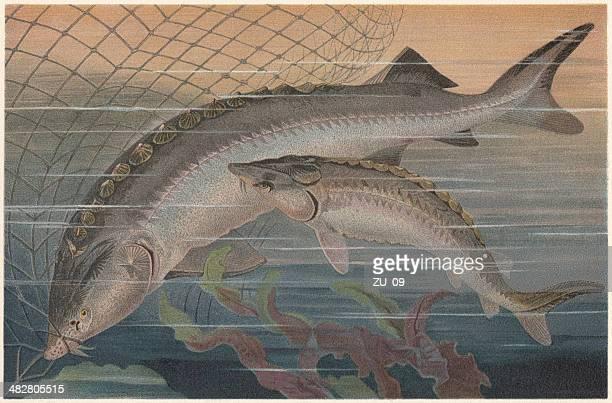 beluga sturgeon (left) and european sturgeon, lithograph, published in 1884 - sturgeon fish stock illustrations