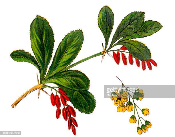 Berberis vulgaris, also known as common barberry, European barberry or simply barberry