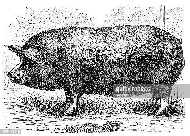 バークシャーの豚 - イギリス バークシャー点のイラスト素材/クリップアート素材/マンガ素材/アイコン素材