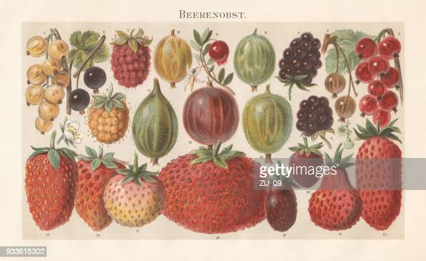 berry fruit, lithograph, published in 1897 - lithograph stock illustrations
