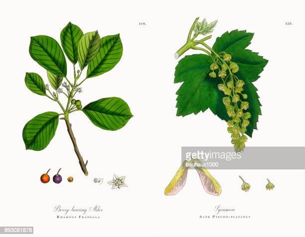 berry-bearing alder, rhamnus frangula, victorian botanical illustration, 1863 - plant bulb stock illustrations, clip art, cartoons, & icons