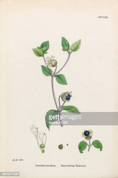 berry-bearing chickweed, cucubalus bacciferus, victorian botanical illustration, 1863 - chickweed stock illustrations, clip art, cartoons, & icons