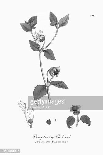 Berrybearing Chickweed Cucubalus Bacciferus Victorian Botanical