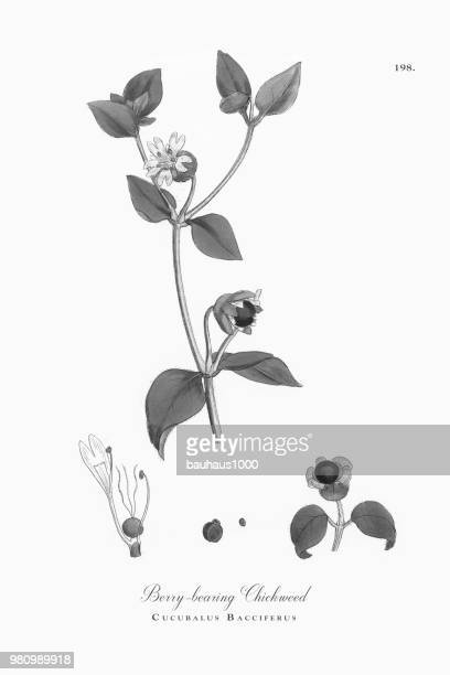 ilustrações, clipart, desenhos animados e ícones de berry-rolamento chickweed, cucubalus bacciferus, ilustração botânica vitoriana, 1863 - chickweed