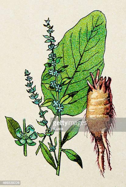 beta vulgaris (beet), plants antique illustration - common beet stock illustrations, clip art, cartoons, & icons