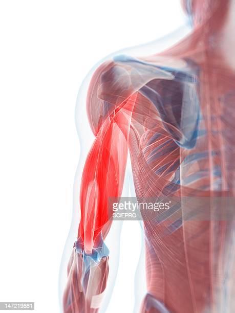 ilustraciones, imágenes clip art, dibujos animados e iconos de stock de biceps muscle, artwork - músculo humano