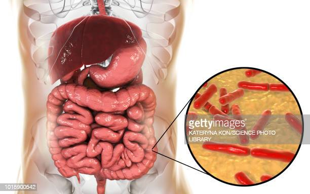 bifidobacterium bacteria in human intestine, illustration - anaerobic stock illustrations, clip art, cartoons, & icons