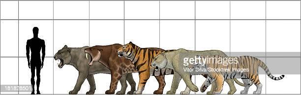 big felines size chart, featuring panthera leo atrox, smilodon populator, panthera tigris acutidens, panthera leo spelaea and panthera tigris altaica (the modern siberian tiger).  - paleontology stock illustrations