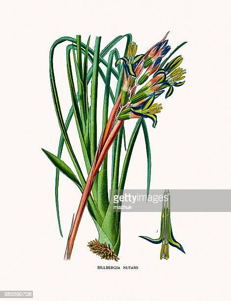 billbergia nutans (queen's-tears) flower - bromeliaceae stock illustrations
