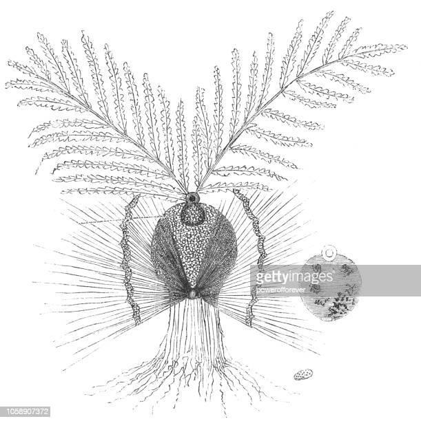ilustraciones, imágenes clip art, dibujos animados e iconos de stock de diagrama biológico de geminación de una semilla de trigo - espiga de trigo