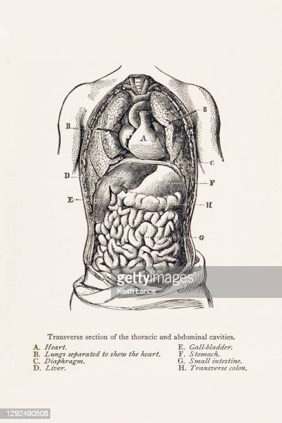 biomedical illustration: thoracic and abdominal cavities - sclerosis stock illustrations