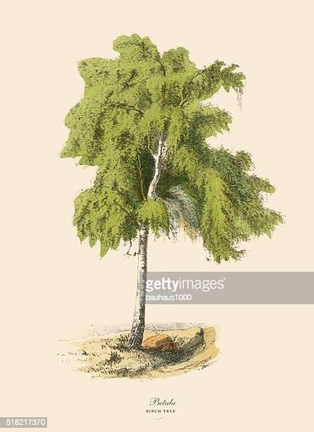 Birch Tree or Betula, Victorian Botanical Illustration